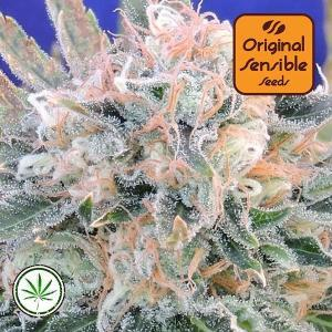 Original-Sensible-Seeds-Auto-Blueberry-Ghost-OG