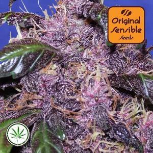 Original-Sensible-Seeds-Auto-Purple