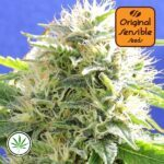 Original-Sensible-Seeds-Black-Destroyer-fem