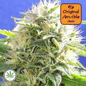 Original-Sensible-Seeds-Black-Destroyer-fem