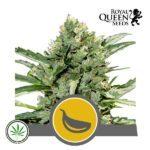 RQS-Garlic-Mist-reg