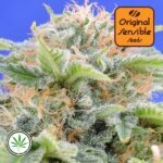 Original-Sensible-Seeds-Black-Gum-fem