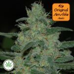 Original-Sensible-Seeds-Blueberry-Ghost-OG-fem