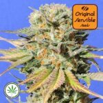 Original-Sensible-Seeds-Bruce-Banner-3-fem