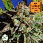 Original-Sensible-Seeds-Bruce-Cookies-fem
