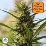 Original-Sensible-Seeds-Cannaboom-CBD-+-fem