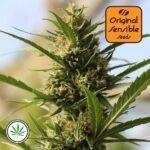 Original-Sensible-Seeds-Cannaboom-CBD-+-fem