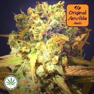Original-Sensible-Seeds-Dr-Bruce-Banner-fem