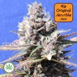 Original-Sensible-Seeds-Gelato-fem