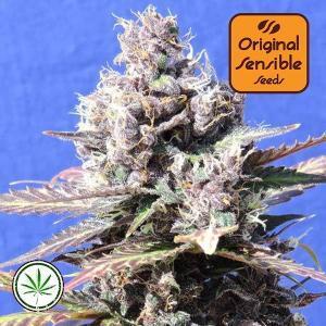 Original-Sensible-Seeds-Gelato-fem