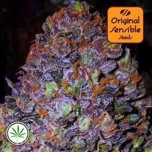 Original-Sensible-Seeds-Purple-Haze-Auto