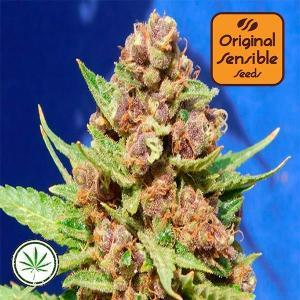 Original-Sensible-Seeds-Purple-Punch-Cookies-fem