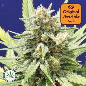 Original-Sensible-Seeds-Stinkin-Bishop-fem
