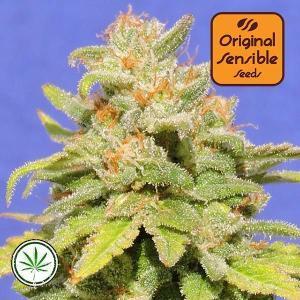 Original-Sensible-Seeds-White-Crystal-Meth-Auto