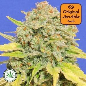 Original-Sensible-Seeds-Zkittlez-fem