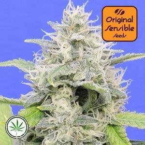 Original-Sensible-Seeds-Zkittzy-Gorilla-fem
