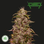 Kalashnikov-Seeds-Big-Altai-Sativa-Express-fem