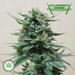 Kalashnikov-Seeds-Northern-Russian-Auto