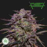 Kalashnikov-Seeds-Purple-Russian-Express-fem