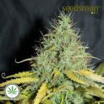 Seedsman-Auto-Skunk-1