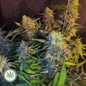 Seedsman-C99-Blueberry-Fast