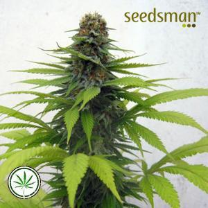 Seedsman-Candy-Cream