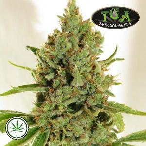 TGA-Subcool-Seeds-Lemon-Stilton