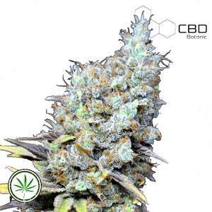 CBD-Botanic-CBD-Big-Bud-Super-Skunk-fem