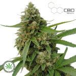CBD-Botanic-CBD-Bubba-Kush-fem