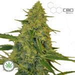 CBD-Botanic-CBD-Chem-Dawg-fem
