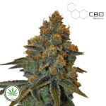 CBD-Botanic-CBD-D-Diesel-fem
