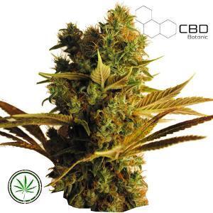 CBD-Botanic-CBD-Hammer-Shark-fem
