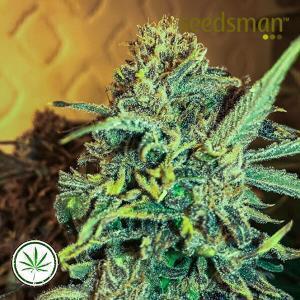 Seedsman-Jack-Herer-Fast