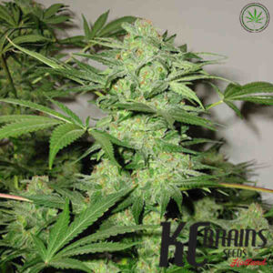 kcbrains-northern-light-special