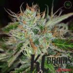 kcbrains-sweet-dreams